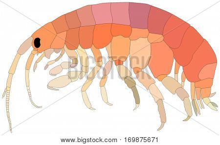 Vector Amphipods Fish lives in ocean and under deep blue water life one of sea filterers