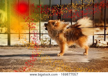 The angry dog, spitz, puppy, doggy is barking with beautiful effect in winter sunny day