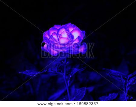Blue Light Painting on Rose Isolated on Background