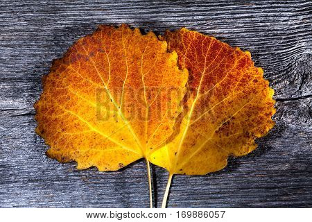 Colorful autumn, fall leaves on a wooden background. Aspen leaves in orange and red in closeup, macro. Weathered plank, board. HDR.