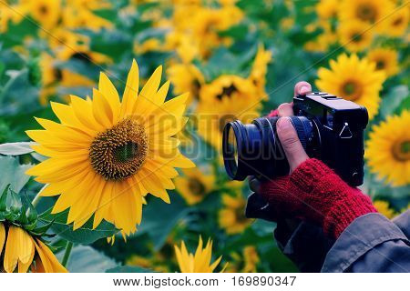 Woman Hand Take Photo At Sunflower Field