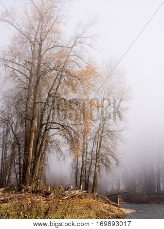 Autumn trees in fog on the riverbank of Snoqualmie river near the town of Carnation, WA, USA