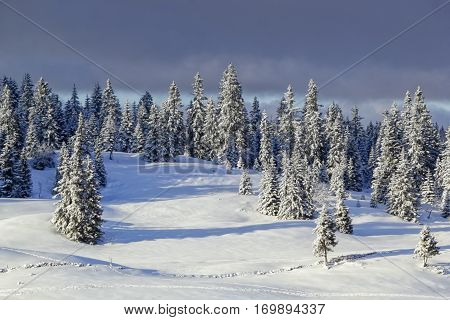 Fir trees in Jura mountain in winter, Switzerland