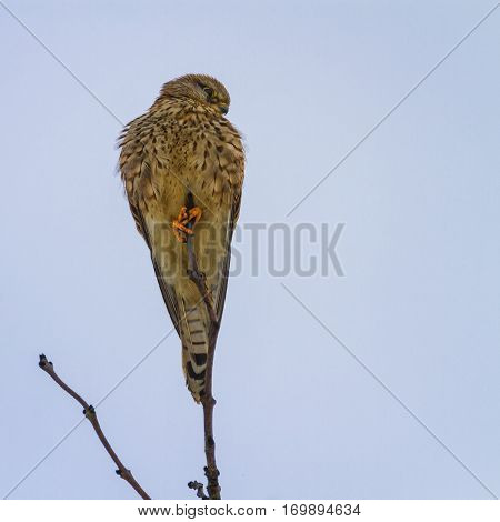 Female common kestrel, falco tinnunculus, standing on a small branch by day
