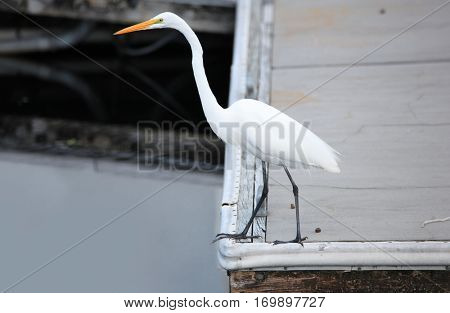 Close up shot of Snow white Egret in the lake.