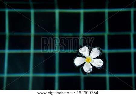 White plumeria in the pool. Top view.