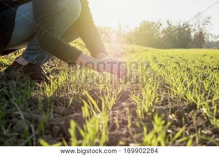 Young agronomist agriculture woman biologist inspecting the wheat plant harvest on a warm spring day with beautiful flare in the background