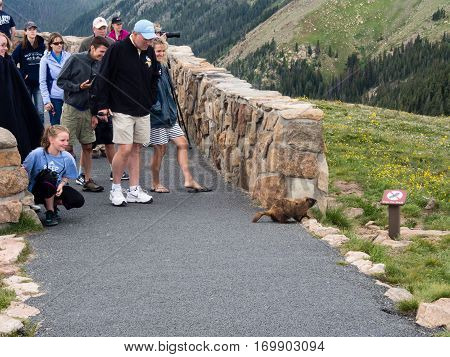 Rocky Mountain National Park USA - July 14 2015: Visitors at the overlook on Trail Ridge Road encountering wild marmot