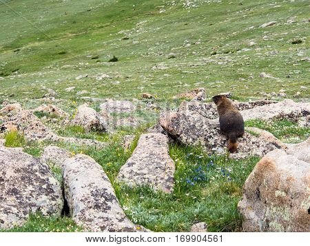 Marmot on a green meadow in Rocky Mountain National Park, USA