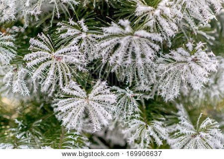 Christmas tree branches covered with hoarfrost crystals
