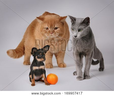 Russian Toy and catsin front of greebackground whit orange