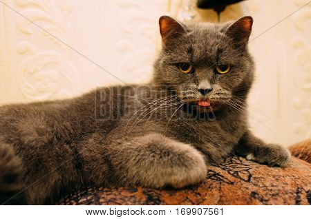 A fussy cat is hungry : It is looking and showing its tongue.
