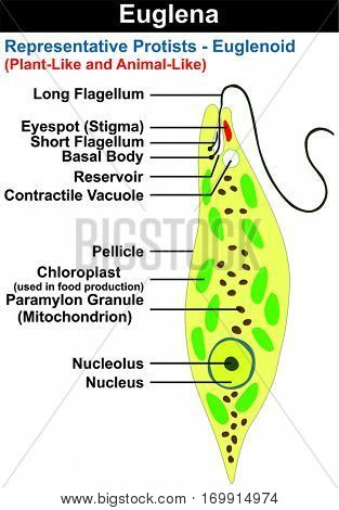 Euglena Cross Section Diagram representative protists euglenoid plant-like and animal like microscopic creature all cell part nucleus flagellum eyespot basal body pellicle mitochondrion chloroplast