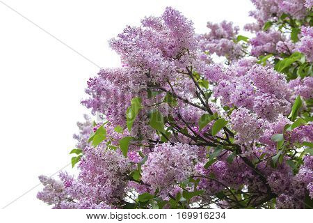 Lush pink lilac branch isolated on white background