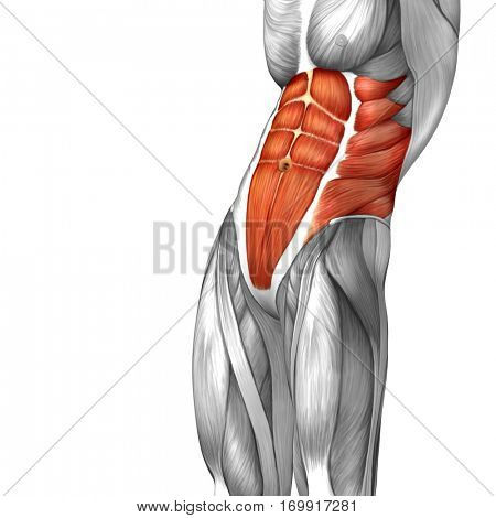 Concept conceptual 3D illustration chest human anatomy or anatomical and muscle isolated on white background metaphor to body, tendon, spine, fit, abs, strong, biological, gym, fitness, health medical