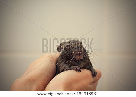 wet rodent in hands looking at camera