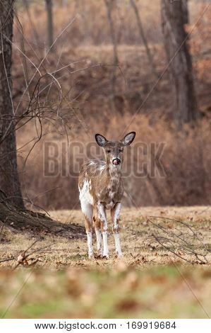 White-tailed Deer Grazing Near Woods