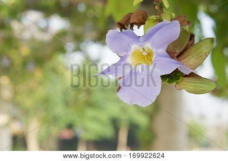Thunbergia Laurifolia Or Blue Trumpet Vine