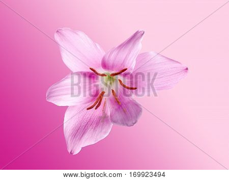 Pink-purple Zephyranthes Flower, Close Up, Isolated, White Background. Common Names For Species In T