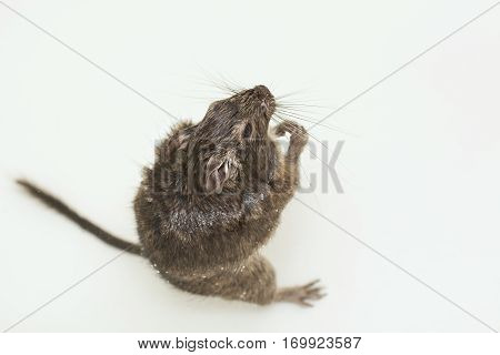rodent sitting in water and looking up