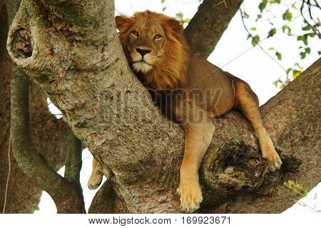 a big lion rests on a branch and watches into the camera Uganda Central Africa.