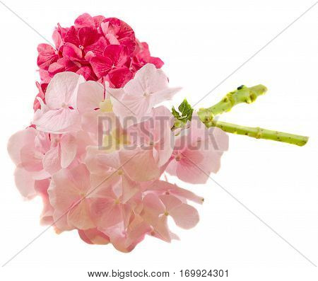 Purple And Pink Hortensia, Hydrangea Flowers, Close Up, Isolated, White Background