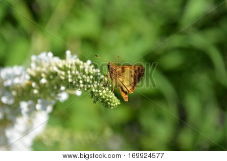 Copper colored Skipper moth on white butterfly bush