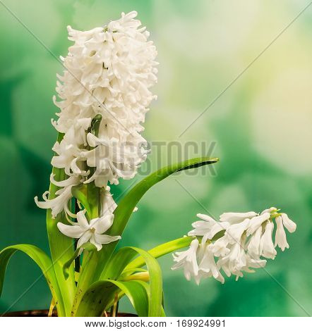 White Hyacinthus Orientalis Flower (common Hyacinth, Garden Hyacinth Or Dutch Hyacinth) Close Up