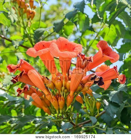 Campsis Radicans Flowers (trumpet Vine Or Trumpet Creeper) Also Known In North America As Cow Itch V