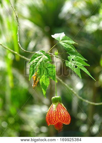 Single Orange Abutilon flower hanging from tree
