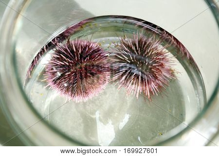 Strongylocentrotus purpuratus aka Purple Sea Urchin. Live Purple Sea Urchins in a Marine Biology Laboratory. Research and Biology along with Science and Nature.