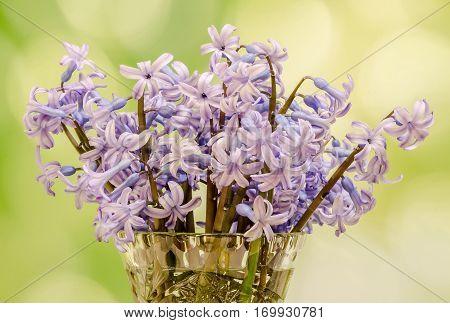Blue Hyacinthus Orientalis Flowers (common Hyacinth, Garden Hyacinth Or Dutch Hyacinth), Close Up, F