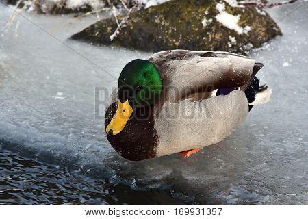 mallard male duck on last non frozen water surface