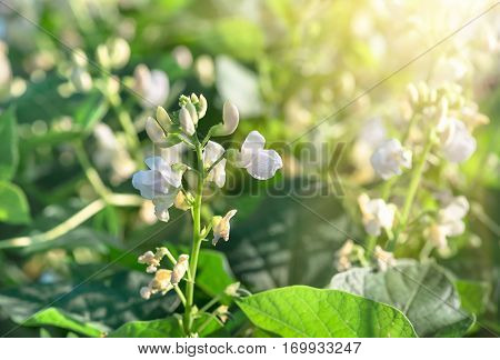 beautiful flowers beans growing in spring on the field agricultural natural background