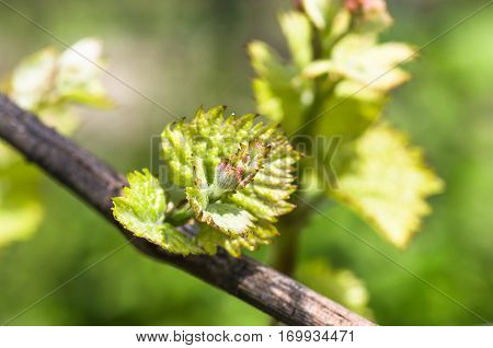 Young green tender shoots and leaves of grapes on the vine in the spring