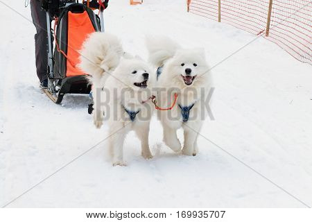 Dog sled run Samoyeds in harness on snow  the track. Sports sled dog race, strong hardy Siberian dogs. Energetic Pets run and compete.