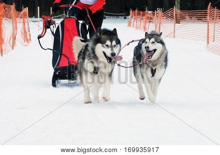 Strong hardy Siberian dogs sled run in harness  in winter. Sports dog race.  Energetic Pets run and compete. poster