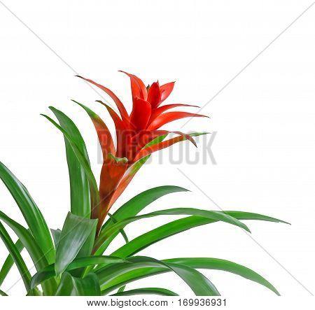Red Guzmania Flower, White Background, Close Up. Family Bromeliaceae, Subfamily Tillandsioideae.