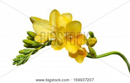 Yellow Freesia Flower, Close Up, Isolated, White Background.
