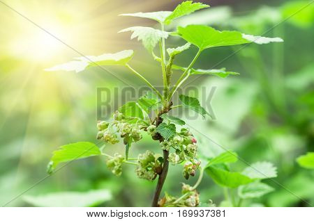 flowers black currant closeup agricultural spring background