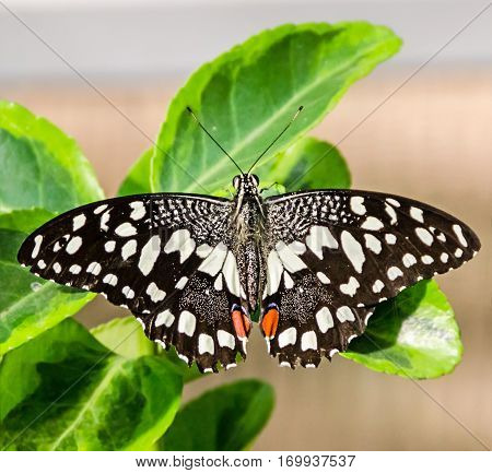 Black with white spots butterfly close up