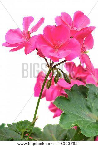 Pink Geranium Flower, Close Up, White Background
