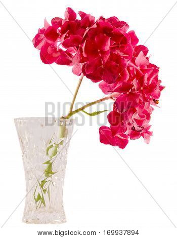Purple And Pink Hortensia, Hydrangea Flowers In A Transparent Vase, Close Up, Isolated, White Backgr