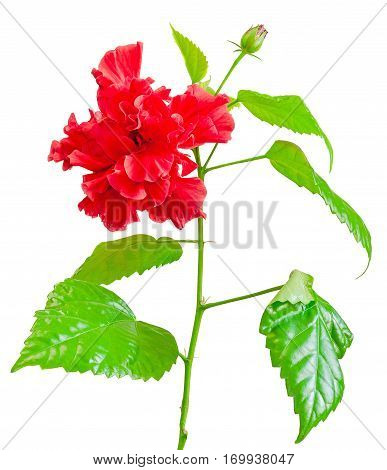Red Japanese Rose, Rosa Rugosa, Hibiscus Rosa-sinensis, Close Up, Isolated, White Background