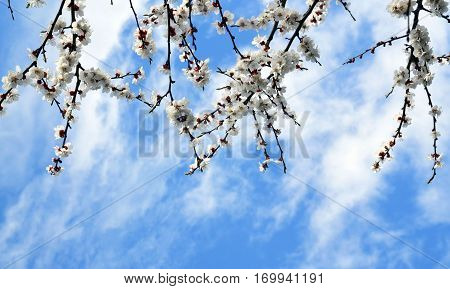 Apricot blossom border.Blossoming branches of apricot tree on a lue sky background.Spring background.Copy space.