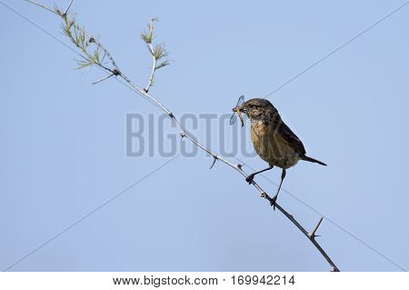 Common stone chat sit on a twig with insect in mouth