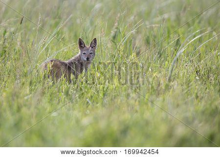 Black backed jackal walking on long green grass looking for food