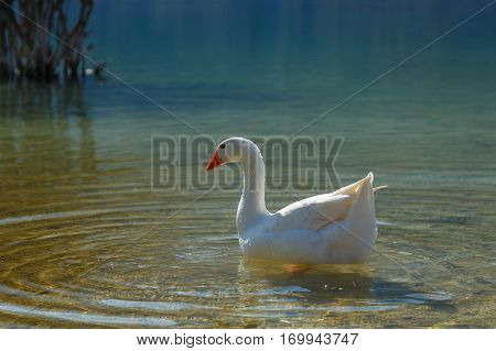Goose swimming at Kournas Lake Crete Greece