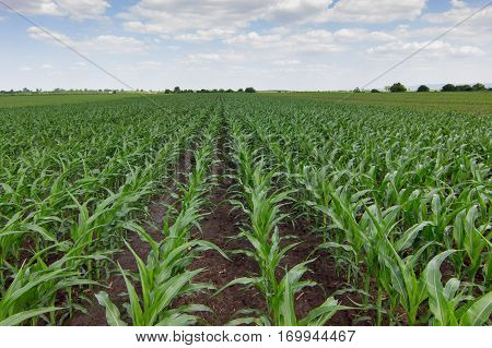 Green corn field. Green corn field. Green corn field