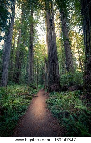 Image of a sunlit forest path in Redwood National Park, California.